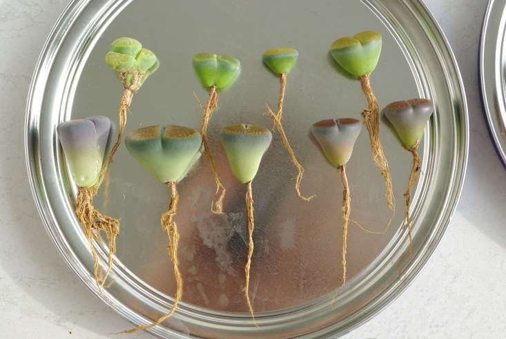 Ready to plant, lithops with healthy root structures. Photograph by Yellowcloud via Flickr.