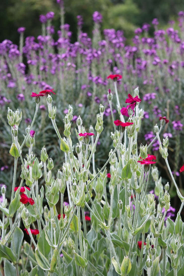 Lychnis, or rose campion, provides waterwise pops of lipstick brightness on a silver backdrop of soft leaves.