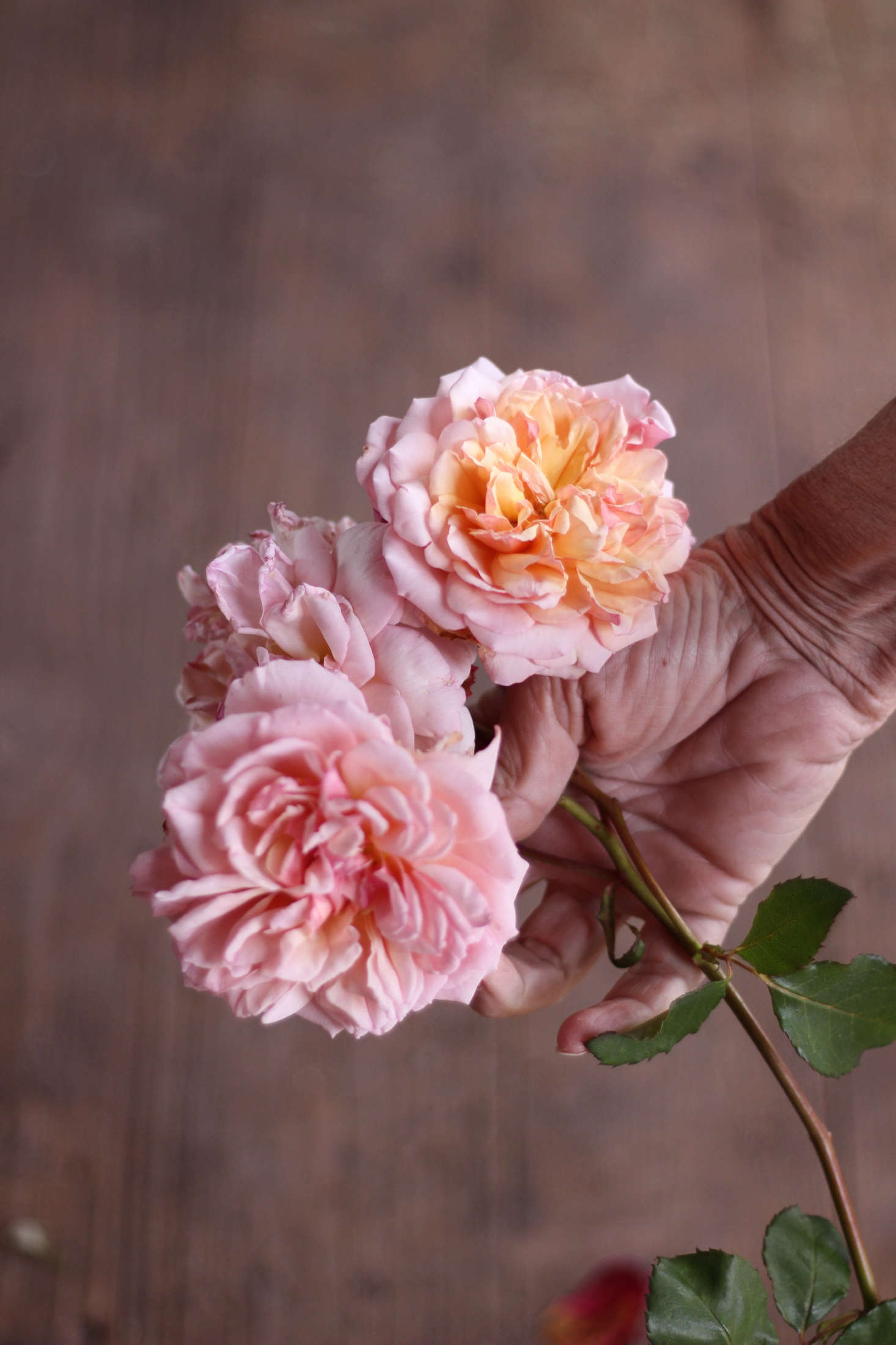 One of Danielle's top picks is 'Madame Paule Massad'. Belonging to the Generosa group of roses, these plants have been bred by the French rose company Guillot-Massad to be remontant (repeat blooming). They are hardy to zone 5.