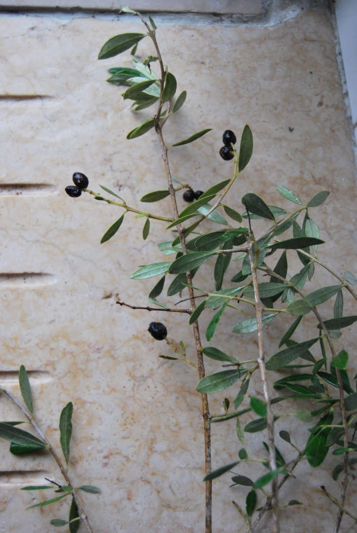 I also look for branches with fruit to add color to the selection of greens and dried materials.