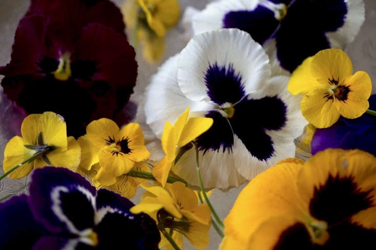 The delicate petals of pansies can be damaged by splashing mud.