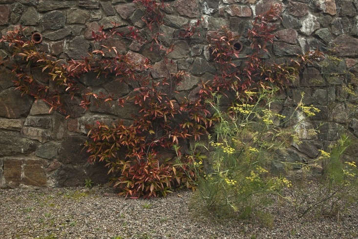 Lacy fennel at the base of a stone wall.