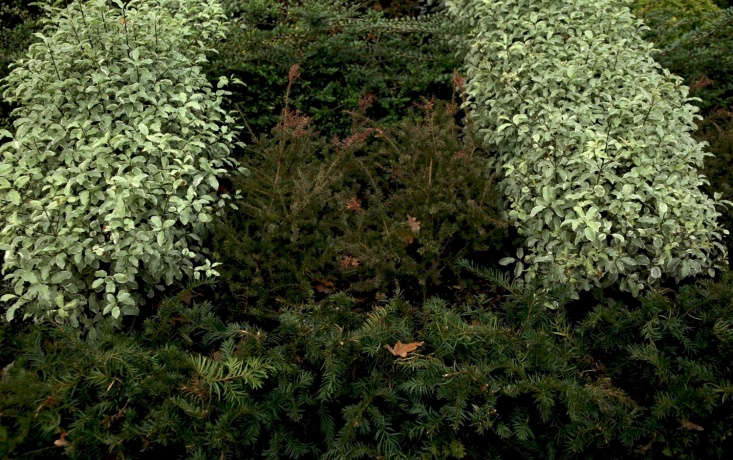 Above: Podocarpus &#8\2\16;Young Rusty&#8\2\17;, green in summer, reddish-brown in winter, flanked by dwarf yew. Conifers make sense as replacements for boxwood, as long as they are true dwarf conifers.