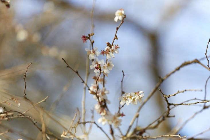 Prunus x subhirtella &#8\2\16;Autumnalis Rosea&#8\2\17;.