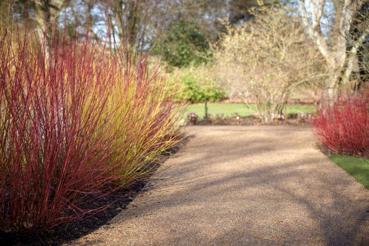 To keep a red twig dogwood color vibrant, you need to either cut back the shrub to the ground every two to three years, or remove one quarter of a shrub's stems every year.Photograph byBritt Willoughby Dyer, fromLandscape Ideas: Blazing Color with Red Twig Dogwood, 5 Ways.