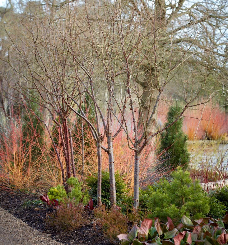 A red twig dogwood&#8\2\17;s color loses luster over the years. To forestall fading, you can take one of two approaches: Cut back the shrub to the ground every two to three years, or remove one quarter of a shrub&#8\2\17;s stems every year (to avoid sacrificing its springtime flowers).