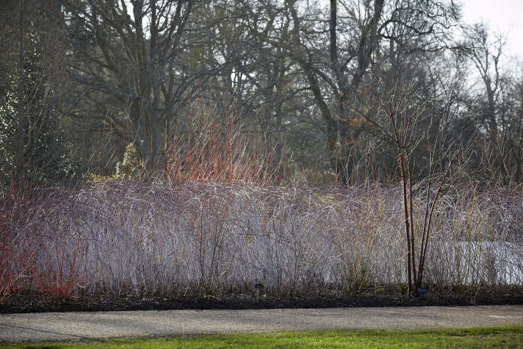 The Royal Horticultural Society shows off, with a whole hedge of ghost bramble.