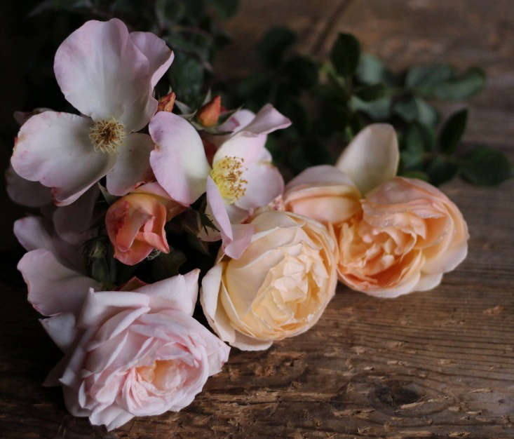 &#8\2\16;Sally Holmes' is pictured here with two other David Austin roses—the apricot chalice-shaped 'Jude the Obscure' and pale pink 'Wild Eve'.