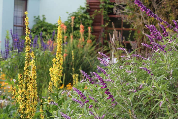 Increasingly, my mom&#8\2\17;s garden needs to look after itself. Here, self-seeded verbascum is a bright and structural centerpoint in a bed, between drought-tolerant Salvia leucantha and the blue uprights ofSalvia &#8\2\16;Indigo Spires.&#8\2\17; In the background a grass aloe&#8\2\17;s orange blooms open in summer. A passion flower vine sprawls on the warm wall of the sun-facing house.