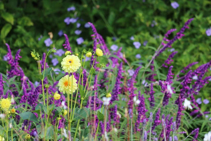 The old-fashioned garden favoriteS. leucantha(commonly called Mexican bush sage) requires little more than a cutting back after it has bloomed. Tall, crisp yellow dahlias are given focus by the salvia&#8\2\17;s soft textures and hot coloring.