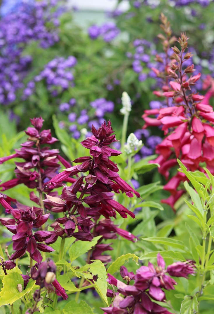 In many parts of the garden salvias are a strong presence, a backbone of color that does not ask for much water. The flowers are very attractive to the resident sunbirds, who rely on nectar rich blooms (and the occasional spider) for their diet.