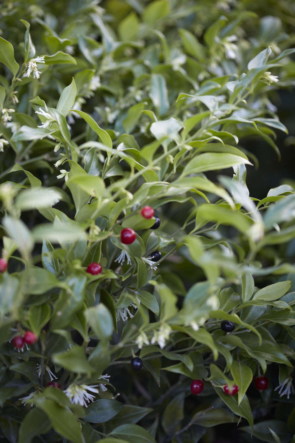 Sarcococca ruscifolia var. chinensis is a favorite with flower arrangers, with its notably long vase life.