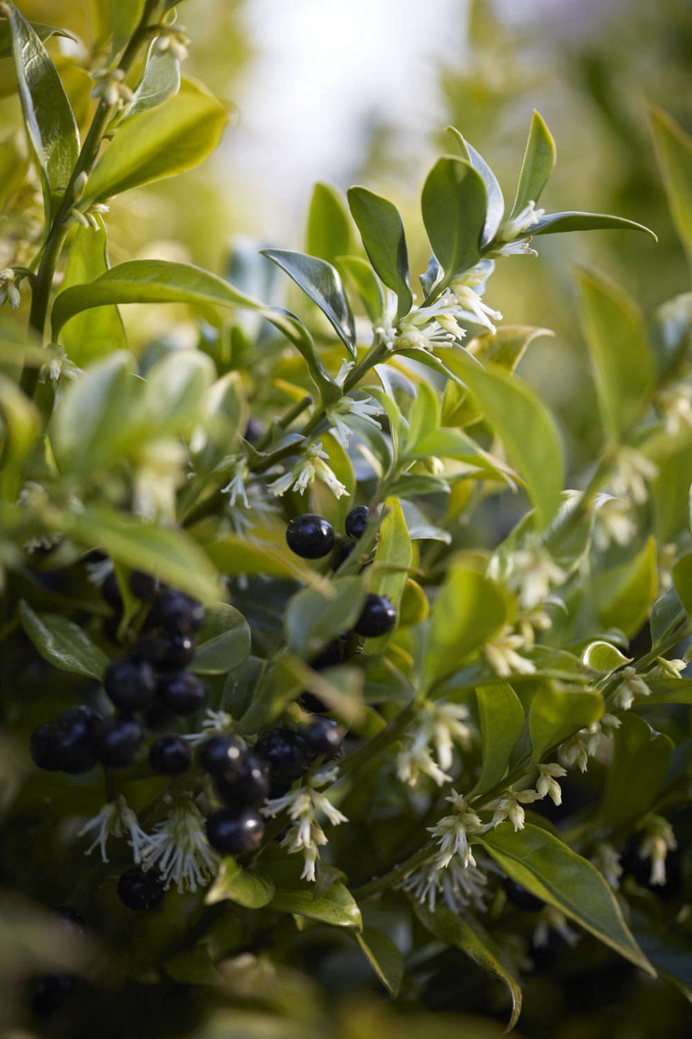 Creamy-white flowers and long lasting berries of Sarcococca confusa.