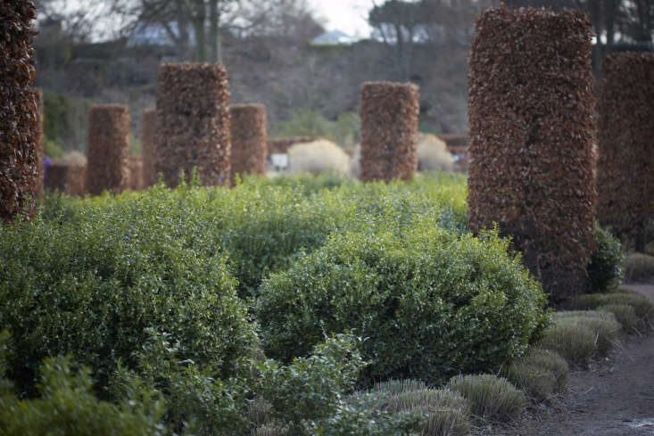 Free-ranging sarcococca breaks up the matrix of clipped beech columns and miscanthus in the Tom Stuart-Smith designed garden at RHS Wisley in Surrey.