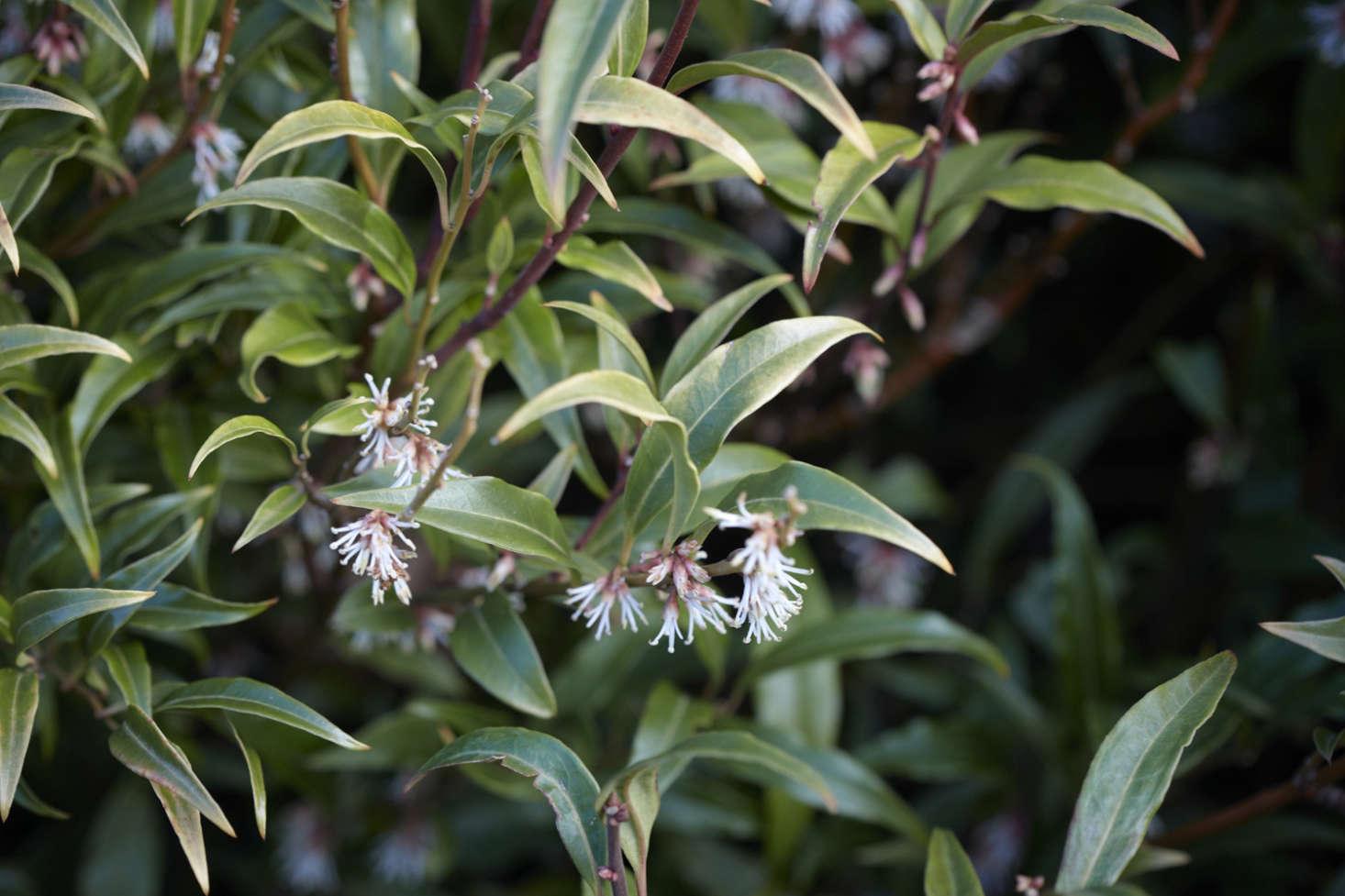 Sarcococca hookeriana var. digyna &#8