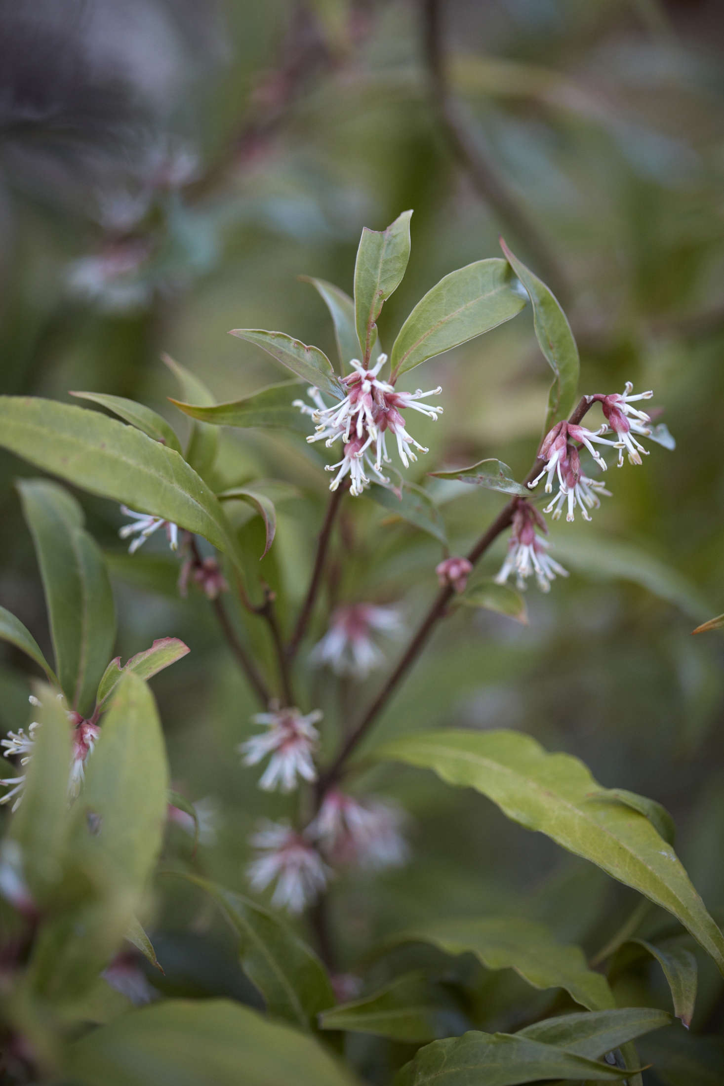 The foliage of Sarcococca hookeriana var. digyna is longer and more tapered and more matte than the species Sarcococca confusa.