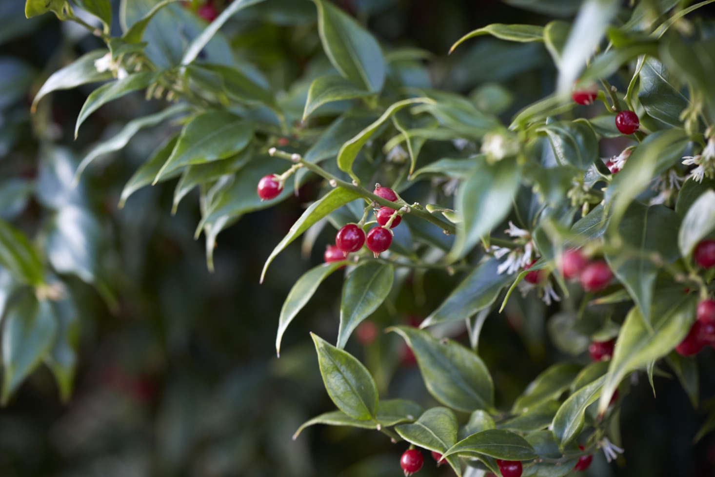 Red berries of Sarcococca ruscifolia var. chinensis.