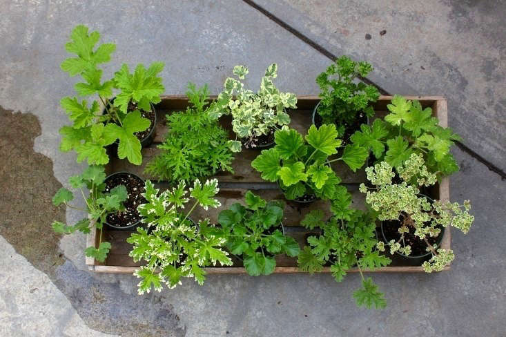 Varieties of scented geraniums include (clockwise from top L) citronella, skeleton rose, variegated nutmeg, lemon, finger bowl lemon, lemon balm, French lace, rose, lime, citrosa, and apple. Photograph by Justine Hand.