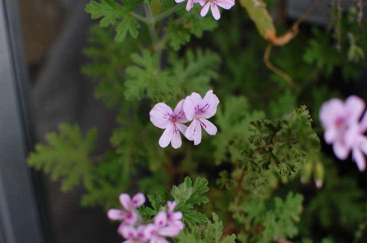 P. crispum gives off a lemony scent. Photograph by Salchuiwt via Flickr.