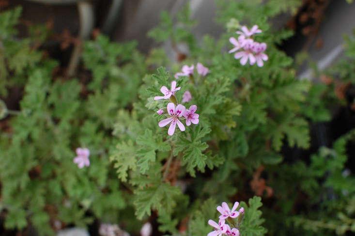 P. graveolens smells like roses. Photograph by Salchuiwt via Flickr.