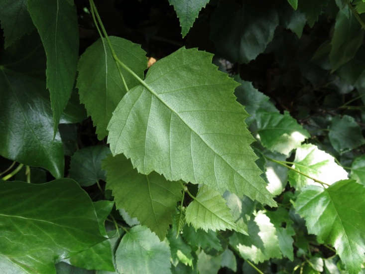 A silver birch tree has spade-shaped leaves. Photograph by Donald Hobern via Flickr.