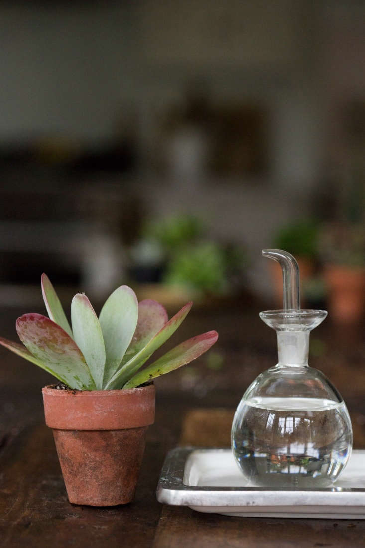 Following treatment, it's a good idea to keep theaninfected succulent away from the others for a few days to prevent the spread of bugs.
