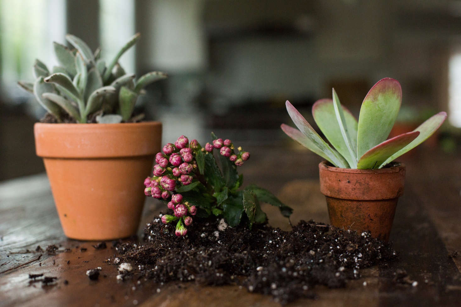 A trio of kalanchoes live in terra cotta pots with drainage holes.