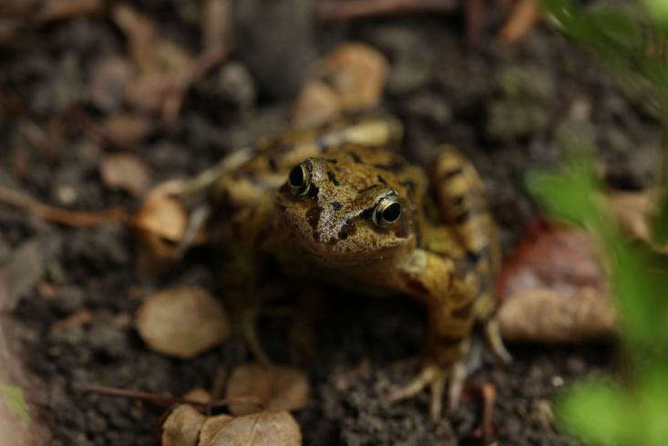 A British common frog, having strayed about loading=