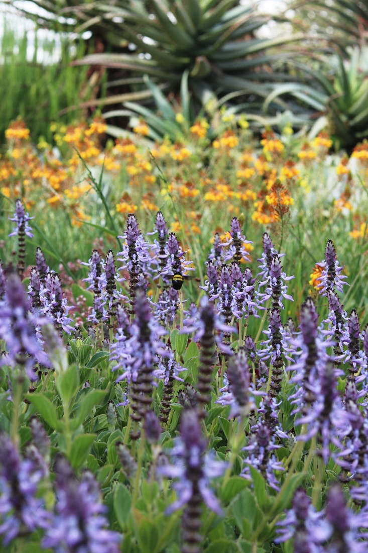 Increasingly, indigenous plants that withstand long periods without water are being encouraged to take root in the hitherto very cosmopolitan garden. This indestructible Plectranthus neochilus blooms for weeks in early summer despite growing in sandy soil in the driest part of the garden.