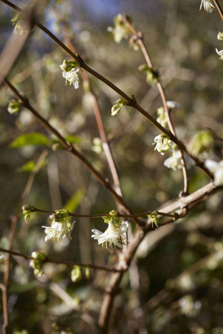 Winter-flowering honeysuckle, Lonicera x purpusii &#8\2\16;Winter Beauty&#8\2\17;.