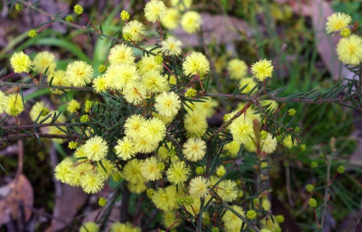 Acacia aculeatissima, also known as thin-leaf wattle, is a low-growing shrub, shown flowering in early October in Australia. Photograph by DavidFrancis34 via Flickr.