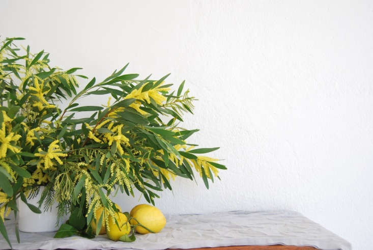 To make an easy floral arrangement with acacia, watch for our upcoming Rethinking Flowers post tomorrow. Photograph by Chelsea Fuss.