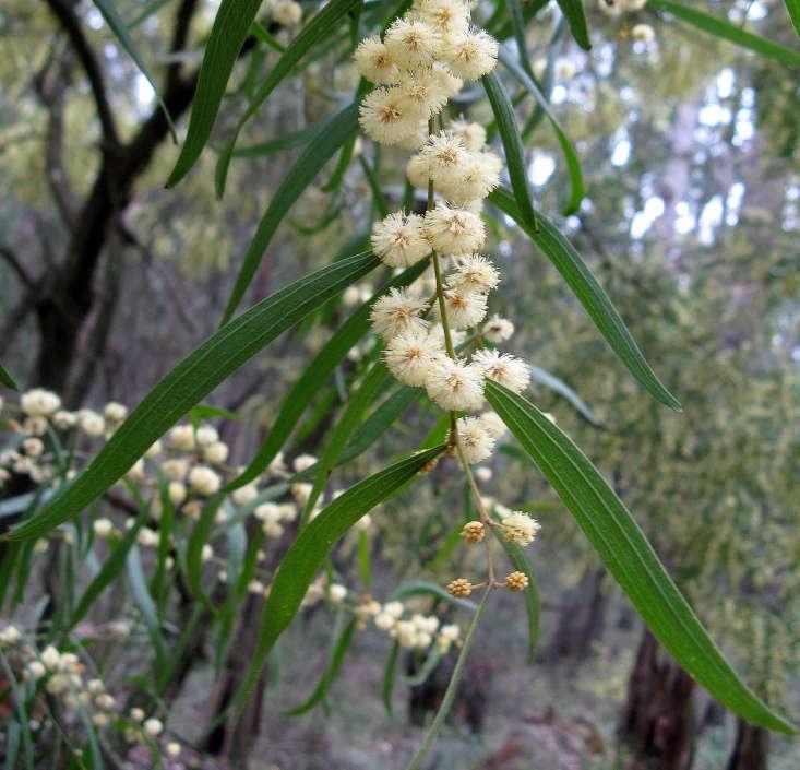 Acacia leprosa var. graveolens, known as a varnish wattle, has pale powder-puff flowers. Photograph by DavidFrancis34 via Flickr.