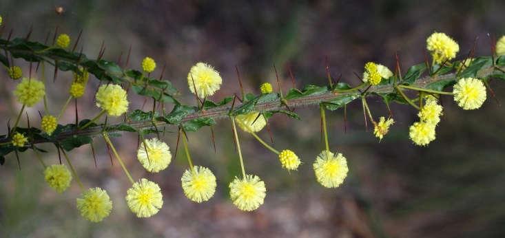 Acacia paradoxa. Photograph by DavidFrancis34 via Flickr.