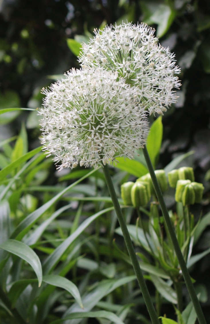 White alliums pop in gardens where a lot of green foliage would camouflage their more popular purple pompon cousins. A single bulb of Allium &#8