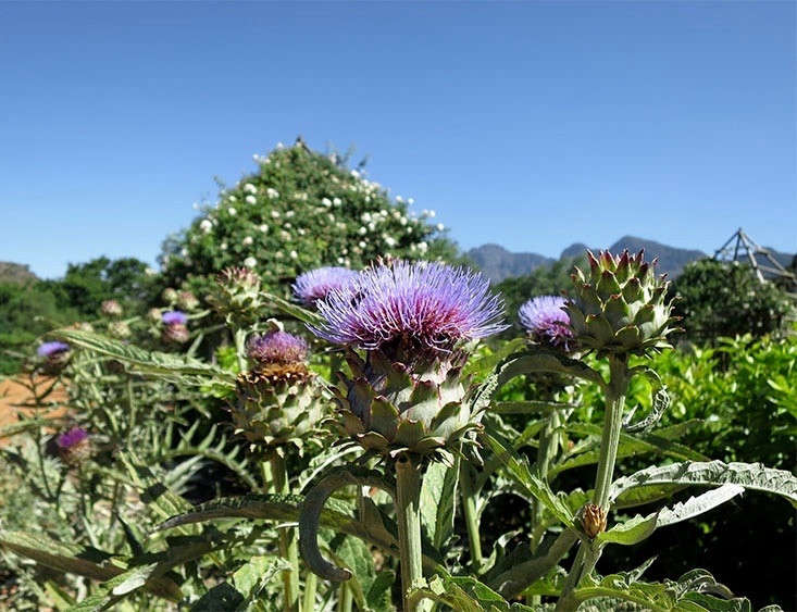 At Babylonstoren in South Africa, artichokes are allowed to flower. Photograph by Marie Viljoen.