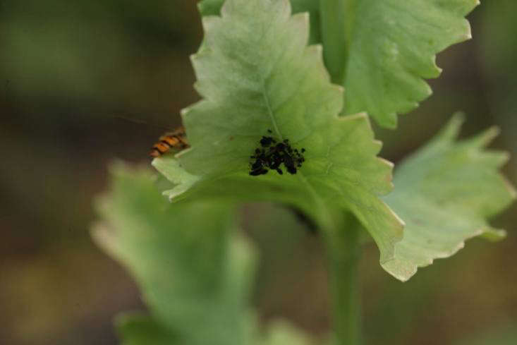 A small infestation of black flies on an opium poppy, with a predator, the hover fly, hovering nearby.