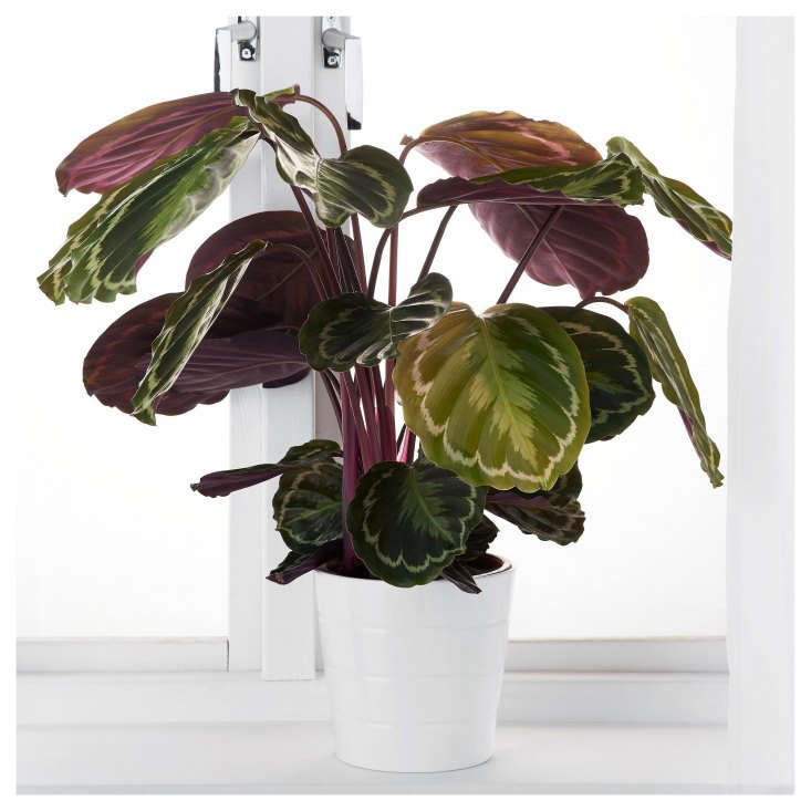In its houseplants department, Ikea stocks calatheas seasonally. Check your store; currently a trio of Potted Assorted Calathea is €.99in some European stores (but is not currently listed as available in US stores).