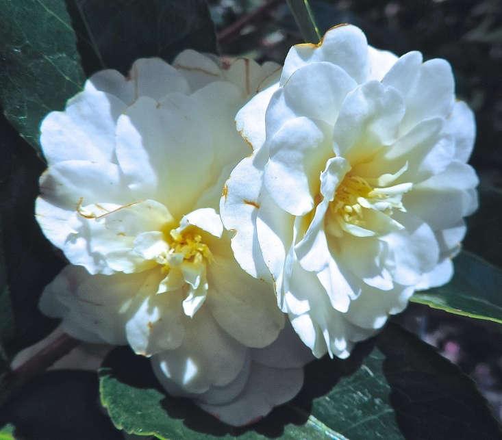 C. sasanqua &#8\2\16;Buttermint&#8\2\17; has a lovely fragrance. Photograph by Peter Stevens via Flickr.