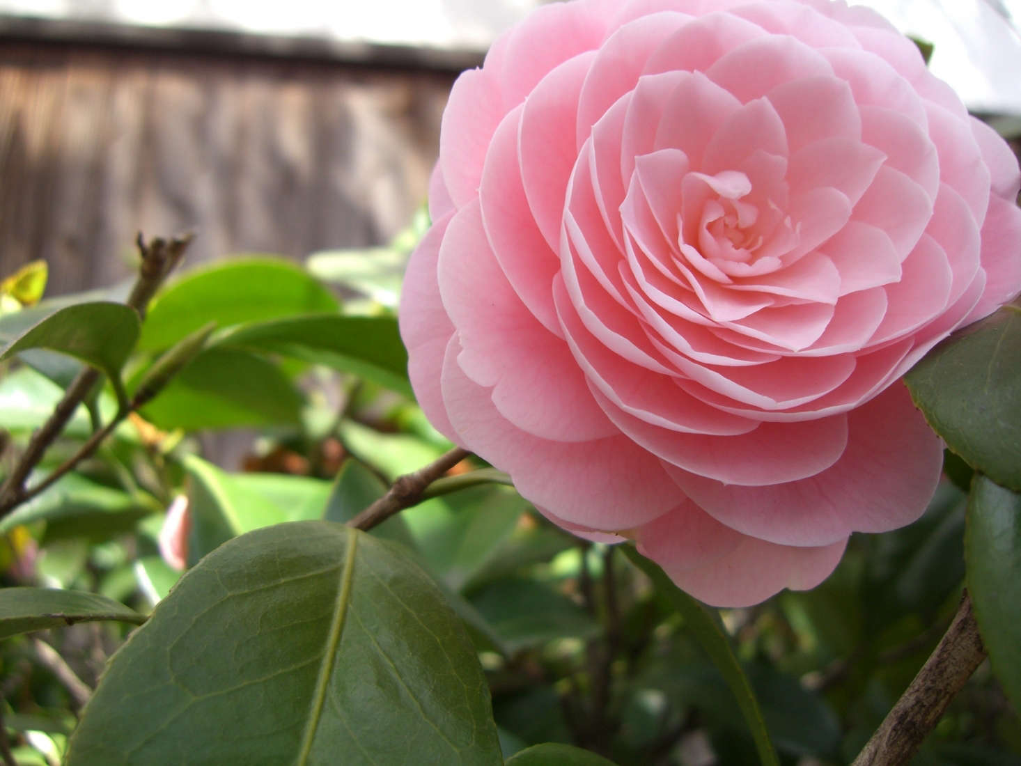 A Camellia japonica. Photograph by Akaitori via Flickr.