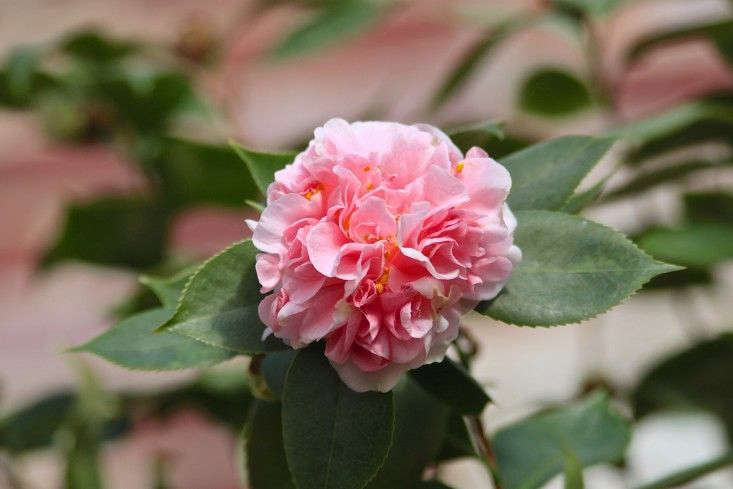 C. japonica &#8\2\16;Debutante&#8\2\17; is as frilly as a peony. Photograph by Justine Hand. See more at The Cult of the Wild Camellia.