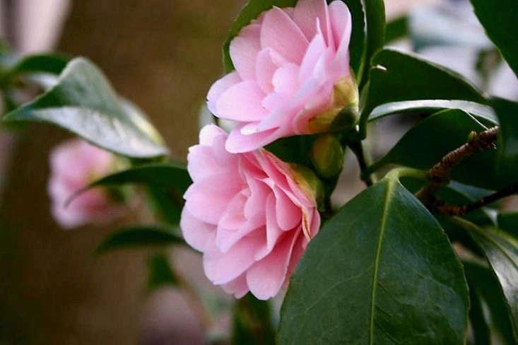 A Camellia sasanqua &#8\2\16;Peach Blossom&#8\2\17; in bloom in London. Photograph by Rictor Norton & David Allen via Flickr.