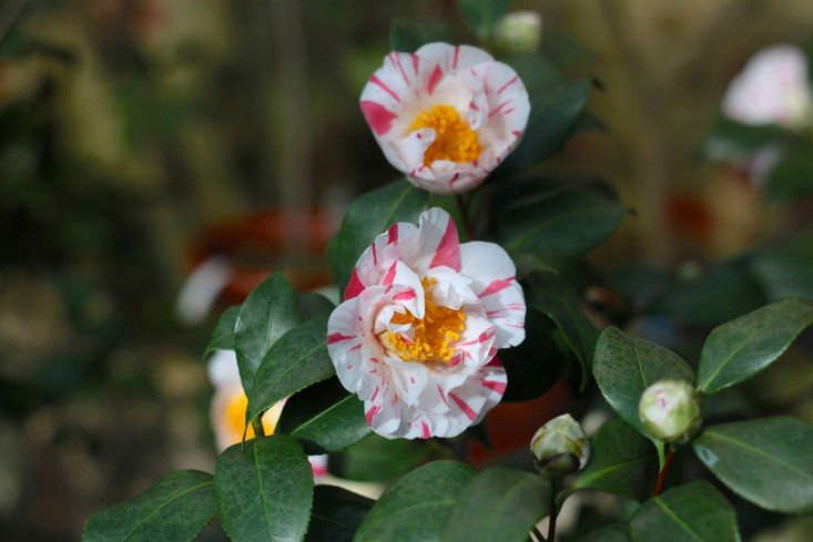 A variegated peppermint camellia. Photograph by Justine Hand. See more at The Cult of the Wild Camellia.