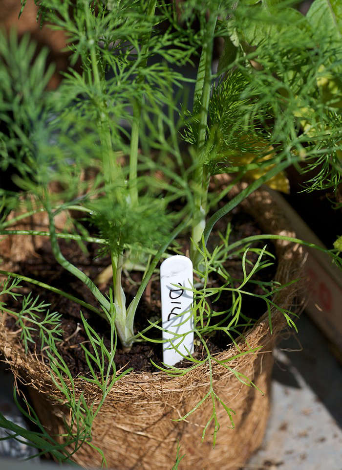 Dill grown at Petersham Nurseries near London. For more, see Required Reading: Kitchen Memories by Lucy Boyd. Photograph by Keiko Oikawa.