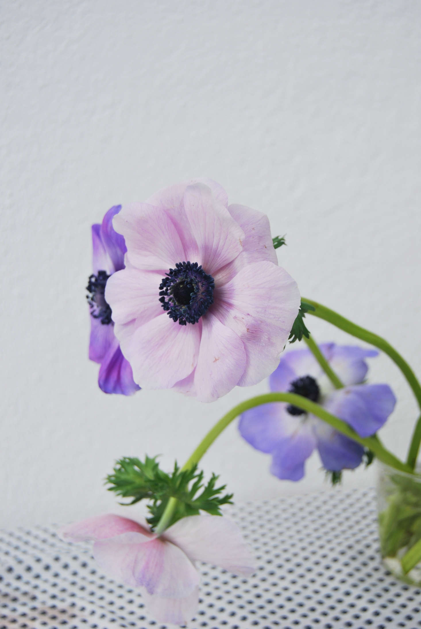 Keep anemones away from direct light so cut stems will last as long as possible.