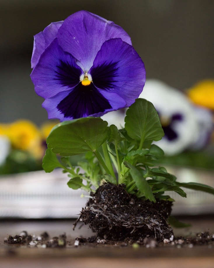 A packet of 0 Pansy Majestic Giants Deep Blue Blotch is $.70 from Harris Seeds.