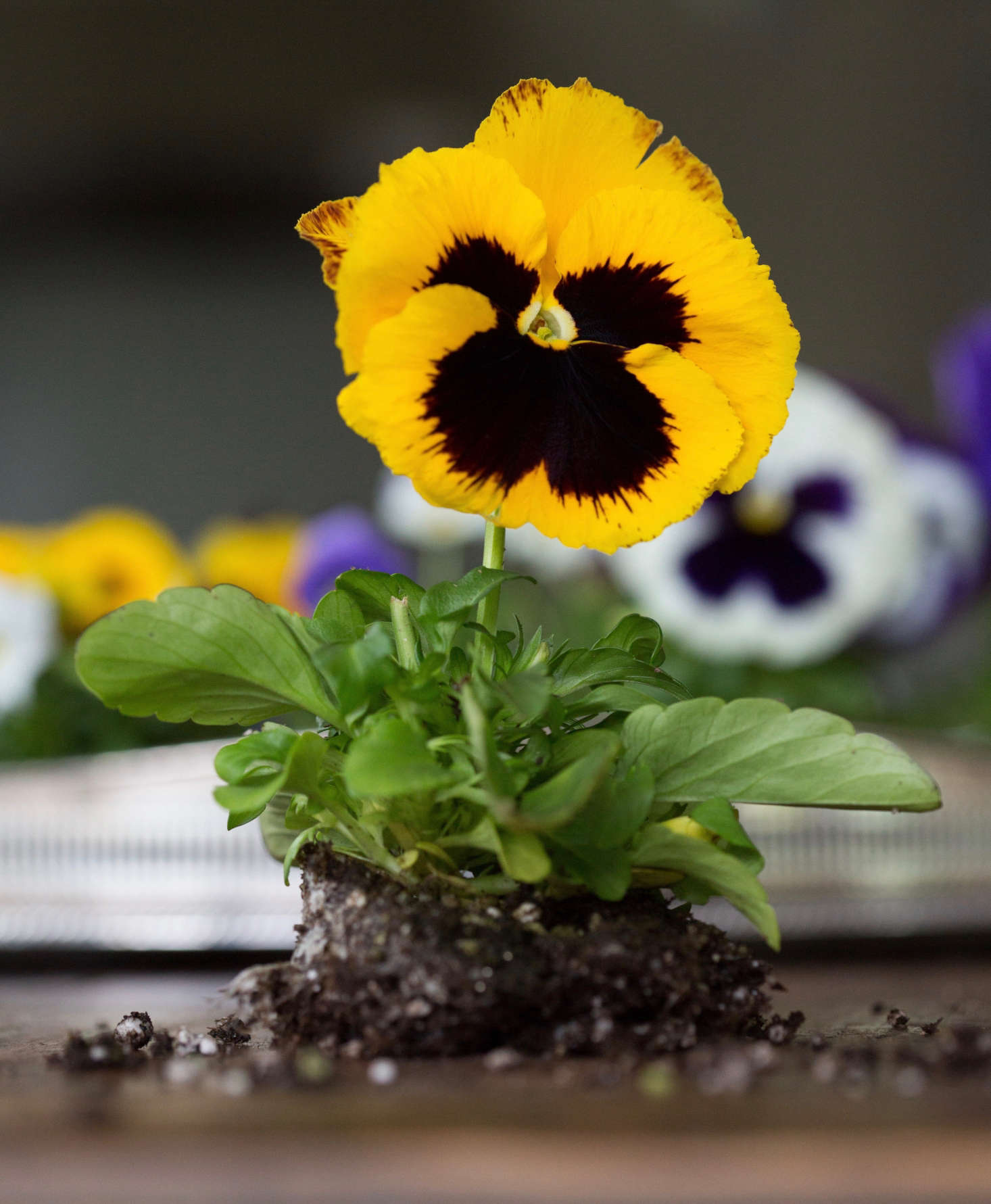 A packet of Mammoth Queen Yellow Bee Pansy seeds is $3. at Stokes Seeds.
