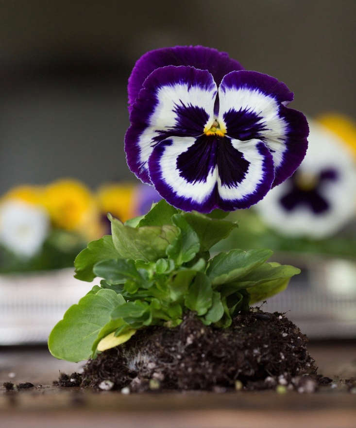 A packet of Mammoth Viva La Violet Pansy seeds is $3. from Stoke Seeds.