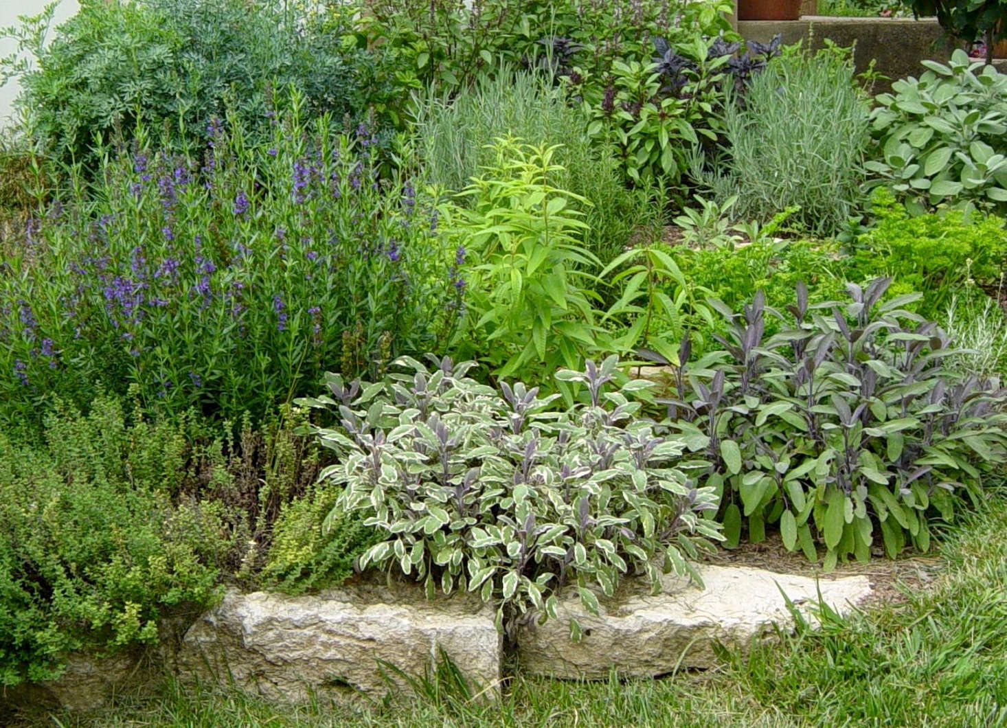 Hyssop (left) and other herbs including sage and lavender are available from Geo Growers in Austin, Texas. For more information and prices, see Geo Growers.