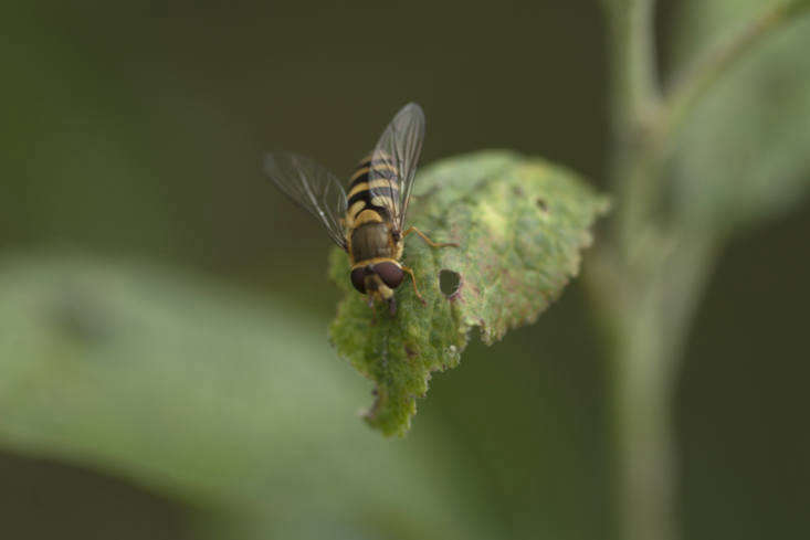 Marmalade fly, a common form of hoverfly.